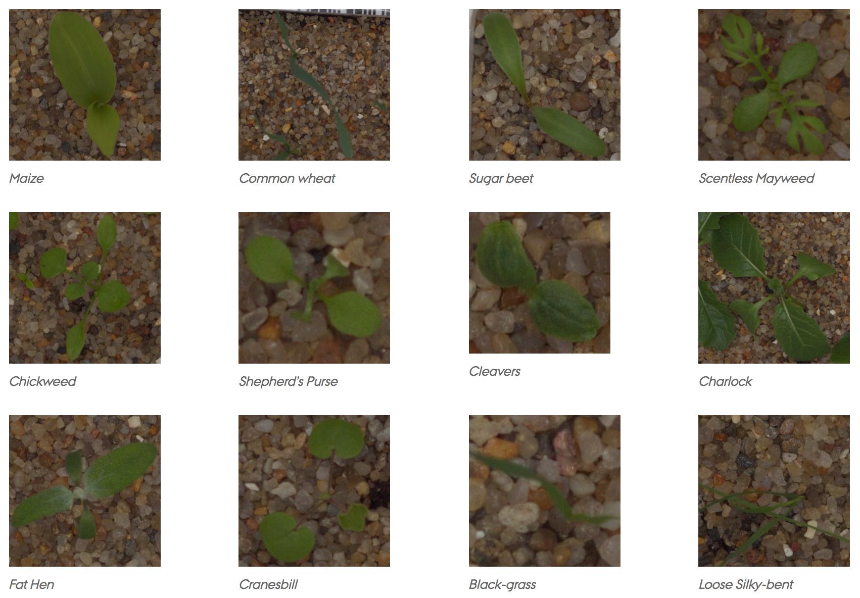 V2 Plant Seedlings Dataset | Kaggle
